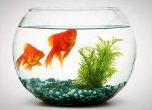 به مناسب نوروز 1400: نکاتی در مورد ماهی قرمز شب عید
