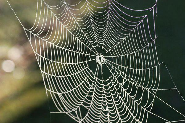 ابریشم عنکبوت ۵ برابر قدرتمندتر از فولاد